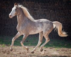 SABINO_marwari_badal211155_LR.jpg (600×484) Marwari horse