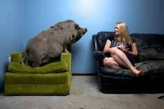 The Big Problem With Mini Pigs - Daisy Mae, miniature Vietnamese pot-bellied pig lounges in her West St Paul, Minnesota home with her owner Sarah Davis Animals And Pets, Baby Animals, Funny Animals, Cute Animals, Animal Cognition, Miniature Pigs, Pot Belly Pigs, Teacup Pigs, Mini Pigs
