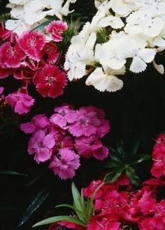 How to Grow and Care for Sweet William Flowers