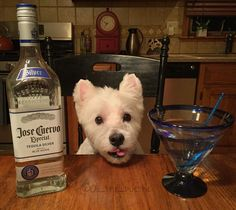 Happy Cinco de Mayo friends!! I'm not gonna stop drinking until I find the worm!! #cincodemayo #tequila #josecuervo #turnup #dog #dogsofinstagram #dogs #dogstagram #doglover #dogoftheday #doggy #doglovers #dogslife #doglife #westie #westiegram #westiesofinstagram #westies #westielove #westiemoments #westiesarethebest #westiepuppy #westielover #westietude #westielife #ilovemydog #ilovemylife #instadog #instagramdogs #itsfiveoclocksomewhere