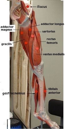 Leg Anatomy, Gross Anatomy, Muscle Anatomy, Anatomy Study, Anatomy Reference, Leg Muscles Anatomy, Leg Muscles Diagram, Muscle Diagram, Nursing Tips