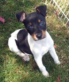 Free Rat Terrier   Rat Terrier and Papillon pup pictures