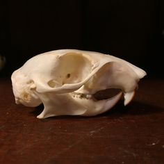 """Real professionally cleaned squirrel skull. Measures about 2.5"""" long."""