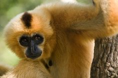 The yellow-cheeked crested gibbon (Nomascus gabriellae) was upgraded from vulnerable to endangered. In south-east Asia, populations of gibbons, leaf monkeys and langurs have dropped due to rapid habitat loss and hunting to satisfy the Chinese medicine and pet trade