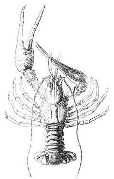 T.H. Huxley anatomical crayfish