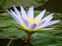 flor vitoria regia - Pesquisa Google