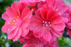 Lewisia pikku sateen jälkeen | Vesan viherpiperryskuvat – puutarha kukkii