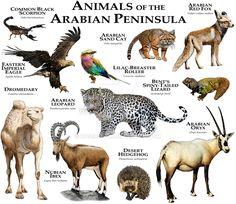 Animals of the Arabian Peninsula Laptop & iPad Skin by Wildlife Art by Roger Hall - MacBook / Pro / Air Animals Of The World, Animals And Pets, Cute Animals, Draw Animals, Unique Animals, Felis Margarita, Arabian Oryx, Camelus, Vintage Illustration