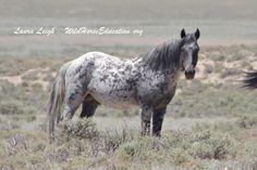 One of Nevada's amazing wild horses