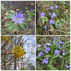 Foråret godt på vej. Forårsbebuderne myldrer frem i haven her 9. april: Blå Balkan-anemone - Blå anemone - Have Forsythia - Skilla.