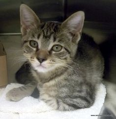 Gray tabby cat- this is what I look like but with a little more grey and I have green/yellow eyes
