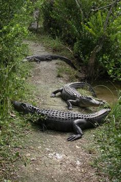 See alligators and crocodiles together in the wild at the Shark Valley part of the Everglades National Park in FL.