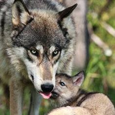 Grey Wolves_ people really need to stop hunting wolves, they may seem fierce but they have great personalities!