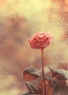agoodthinghappened:    Autumn rose by *lieveheersbeestje