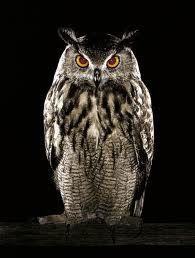 LE HIBOU -animal totem Le hibou est souvent associé au côté obscur puisque c'est un oiseau nocturne et un oiseau de proie. De par sa particularité de voler sans bruit, et du fait qu'il se déplace de nuit, ses proies ne sont conscientes de sa présence que lorsqu'elles sont déjà prises. Il mange beaucoup de souris, de gerboises, de petits animaux. Il a une vision perçante, et sa tête peut presque tourner à 360°