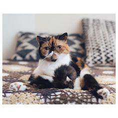 おはよん #meme by @sakuracos Frontline plus for cats Follow us on Instagram :D #cats #cat #catlover #lovecats #funny #fun #cute #socute #feline #felines #felinefriend #fur #furry #paw #paws #kitten #kitty #kittens #kittycat #kittylove #fluffy #fluff