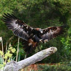 #TBT  Currumbin Bird Sanctuary.  Wedge Tailed Eagle.  When I was about 17  I worked at the bird sanctuary down in Currumbin on the Gold Coast as a dishwasher.  I'd sneak off on my break out into the park to check out all the enclosures.  One of my favourites was the birds of prey demonstration where this guy was the star.  Well worth a visit if you're ever on the Gold Coast.  Chefs  Graphic Tales of Culinary Debauchery  Coming soon  #comics #chefsofinstagram #chef #cheflife #chefs…