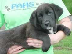 Meet Tucker 22292, a Petfinder adoptable Labrador Retriever Dog | Prattville, AL | Tucker is a 9-week-old male Lab mix. He is black with white marking on his chest and a little white...
