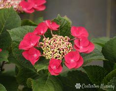 Hydrangea Varieties, Cherry, Landscape, Rose, Garden, Flowers, Plants, Ideas, Scenery