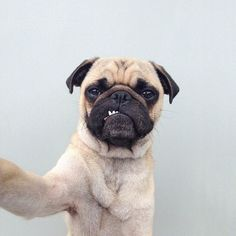 Celebrate man's best friend.  See more of Jeremy Veach's (@jermzlee) pug Norm…