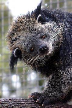 The nocturnal tree-living Binturong (Arctictis binturong), also known as the Palawan Bearcat, is neither a bear or a cat. It belongs to the same family as civets.