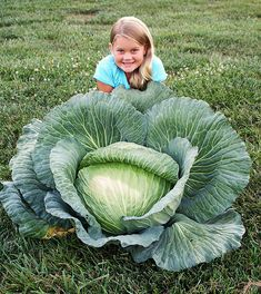 A 2012 winner of the Bonnie Cabbage Contest: North Carolina - Sydney