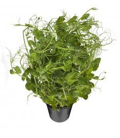 Herneenverso Herneenverso kasvatetaan sokeriherneestä, joten se maistuu makealle herneelle. Versot sisältävät entsyymejä, vitamiineja, kivennäisaineita, lehtivihreää ja hyvää valkuaista. Versoissa on jämäkkä varsi ja niiden väri on vaalean vihreä. Versot sopivat erinomaisesti koristeluun, salaatteihin ja leivän päälle. Parsley, Herbs, Herb, Medicinal Plants