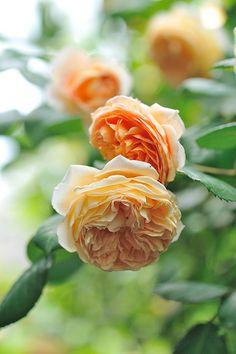 Rose in my garden | バラ イングリッシュローズ クラウンプリンセスマルガリータ in my gard… | Flickr
