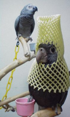 vani-lla:  黒哥@Greater Vasa Parrot wears yellow net.