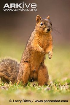 Male eastern fox squirrel standing on hind legs