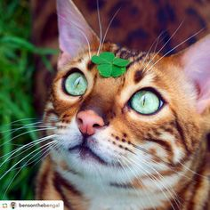 Bengal Cats sur Instagram : Happy St. Patrick's Day, Benson the lucky charmer! ☘ #stpaddysday .  by @bensonthebengal ✨