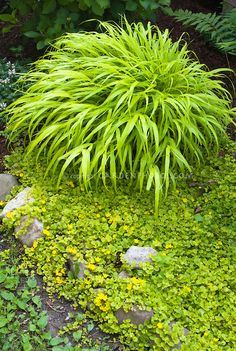 1000 images about ornamental grasses hostas on for Shade decorative grass