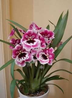 Just bought a Miltoniopsis Rubenesque which looks very similar to this guy's. It's a scented orchid with a perfume that builds with sun exposure over the course of the day. Once shade falls, the perfume stops until the next day. So cool!