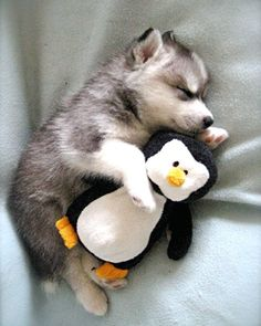 Must be a thing with huskys to cuddle with penguin. Cause mine does the same thing lol