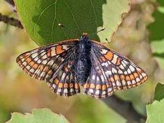 Lapland Fritillary butterfly (Euphydryas iduna). It is northern Finland's only (yellowish) white-winged (basic colour) butterfly, and it has brownish red and brownish-black strips. Males defend their territory on slopes as they wait for the females,