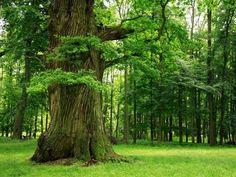 big wood trees