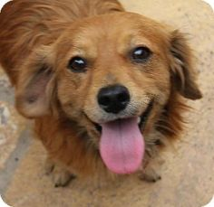 San Diego, CA - Dachshund/Spaniel (Unknown Type) Mix. Meet Curry a Dog for Adoption.