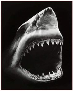 is a charcoal drawing by Robert Longo. This is a charcoal drawing by Robert Longo.This is a charcoal drawing by Robert Longo. Hai Tattoos, Shark Art, Shark Fish, Fish Ocean, Shark Bites, Shark Week, Black Paper, Paint By Number, Sea Creatures