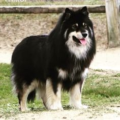 Finnish Lapphund Dog Breed Information - American Kennel Club