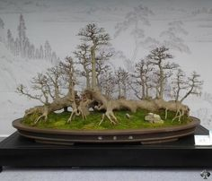 Ikadabuki (raft) style Bonsai, stunning isn't it? By: Matyie Che Makhtar See: www.bonsaiempire.com #bonsai