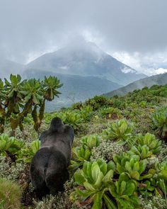 Master of his Domain. Photograph by Christopher Whittier - A young silverback mountain gorilla pauses as the clouds lift to reveal Mt Sabinyo, one of the extinct Virunga volcanoes. Bushokoro, Northern Province, Rwanda