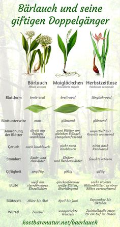 Wild garlic differ from lilies of the valley, Herbstzeitlose and other plants - All For Garden