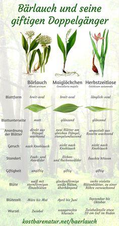 Frühling ist Bärlauchzeit! Leider gibt es einige giftige Pflanzen, mit denen er öfter verwechselt wird. Auf diese Dinge solltest du unbedingt achten!