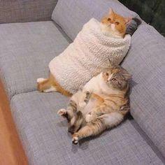 Cat-Cat-Cat