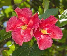 """Puerto Rican Hibiscus"" is the Puerto Rico State Flower - also commonly known as Thespesia grandiflora, Maga grandiflora, Montezuma"