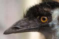 Shot back in 2011 when we visited Australia. Shot in Peel Zoo. Visit Australia, Emu, Logo Design, Bird, Animals, Technology, Logos, Animales, Tecnologia