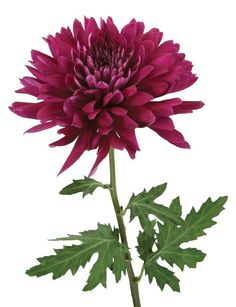 Radebaugh Florist creates stunning wedding flowers, bridal bouquets and reception flowers. Contact us to schedule a FREE wedding consultation today. Katie Austin, Purple Mums, Delaware Valley, Wholesale Florist, Elegant Flowers, Free Wedding, Chrysanthemum, Evergreen, Wedding Flowers