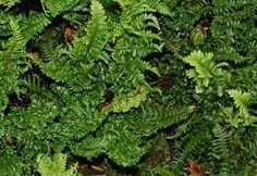 1 Dryopteris crispa congesta Hardy Evergreen Groundcover shade plant