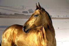 Evening gold by Dan Shalloe  The horses of the Akhal-teke breed are famous for the golden shimmer of their coat. They are thoroughbreds (like English thoroughbreds and Arabians) and originate from Turkmenistan. The breed is thought to be over 2000 years old and is one of the very earlier horse breeds known.