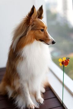 Sheltie - Just beautiful.